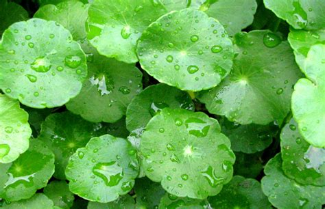 Dan Khasiat Sho Kuda kegunaan khasiat dan manfaat tanaman daun pegagan serta