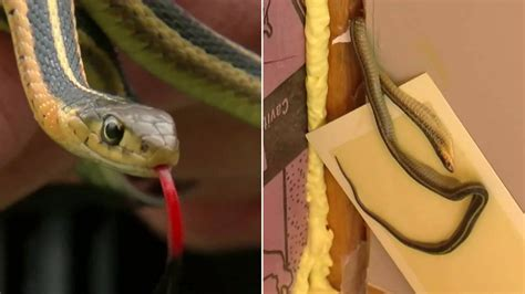 house infested with snakes house of snakes single mom unknowingly moves into snake infested home abc7 com