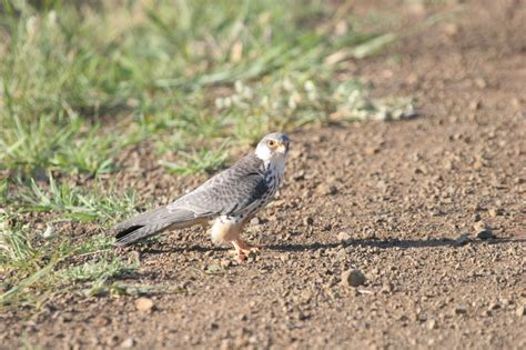 latvian falcon birdforum