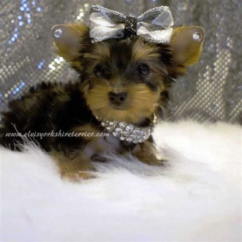 small yorkies for adoption kathy small pup for sale elvis terrier
