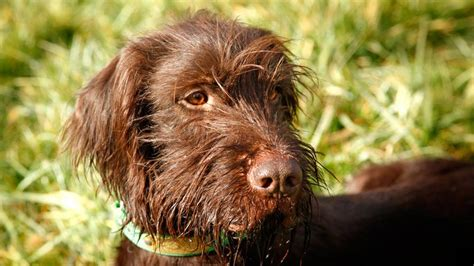 Pudelpointer Shedding by What Is A Pudelpointer Breeds Picture