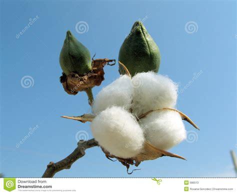 Atomix Cotton Organic Kapas Organic cotton plant stock image image of cross budding cotton 586513