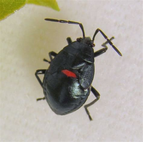 bed bugs black spots i has a bug bugs insect spider beetle nature animals natural world earth