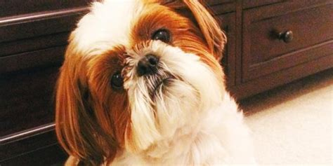 Shih Tzu Do They Shed by Shih Tzu Faq S Answered Shih Tzu