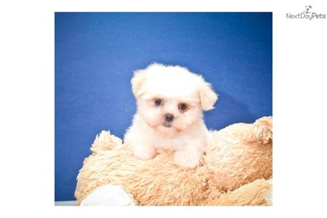 teacup teddy puppies teacup teddy dogs