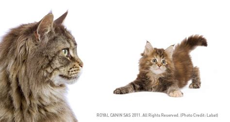 maine coon cat breed profile petplanet co uk