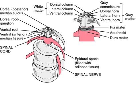 cross section synonym spinal cord tracts definition of spinal cord tracts by