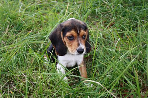 Indiana Beagle Rescue
