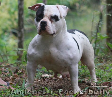 pocket bully american pocket bully breeds picture