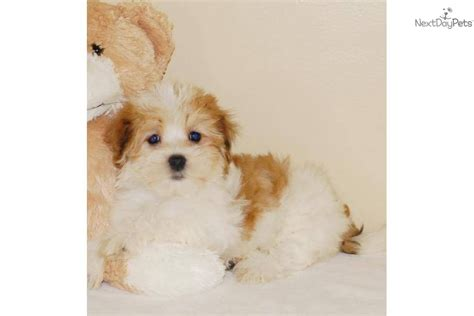 affordable havanese puppies for sale meet jake a havanese puppy for sale for 445 jake www affordablepup