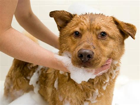 how to bathe puppy how to give your a bath petfinder