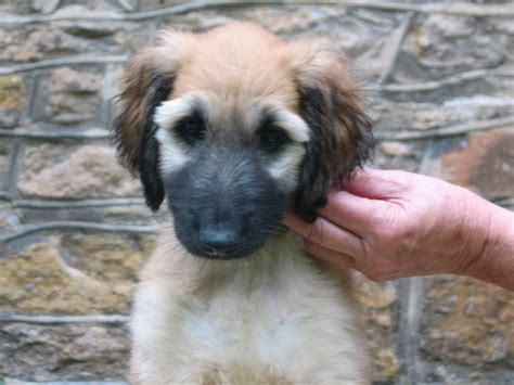 afghan puppies afghan puppies holywell clwyd pets4homes