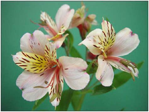 Segiempat Floral Sp 01 alstroemeria