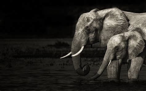 black and white elephant wallpaper elephant 1920x1200 wallpapers 1920x1200 wallpapers