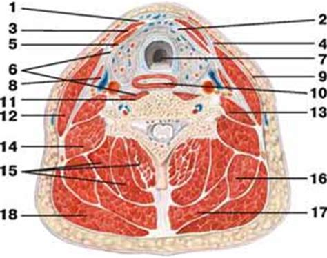 cross section of neck fascia neck human anatomy