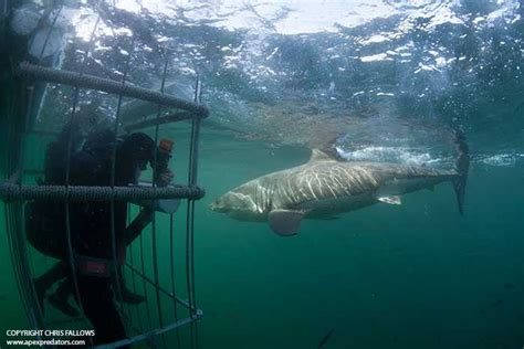 apex dive great white shark cage diving with chris fallows in south