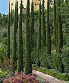 italian cypress tree italian cypress trees pinterest italian cypress trees cupressus