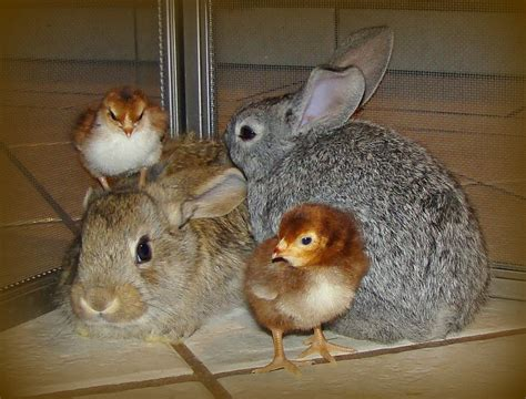 cute rabbits and chicks baby bunnies chicks awwww so cute pinterest
