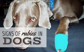 symptoms of rabies in dogs rabies symptoms in dogs caninejournal