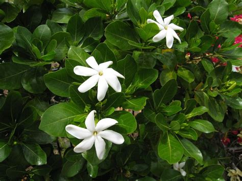 high c gardenias 17 best images about fragrant garden on pinterest vines