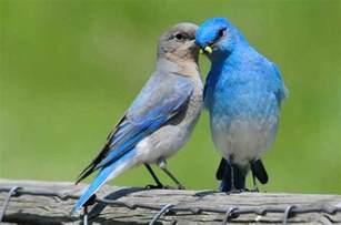 mountain bluebird attracting birds birds and blooms