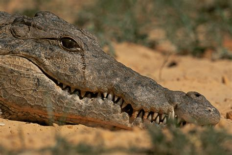 What's the deal with crocodile tears? | HowStuffWorks