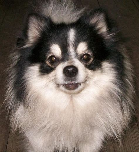 pomeranian and pomeranian temperament exercise and grooming inspirationseek