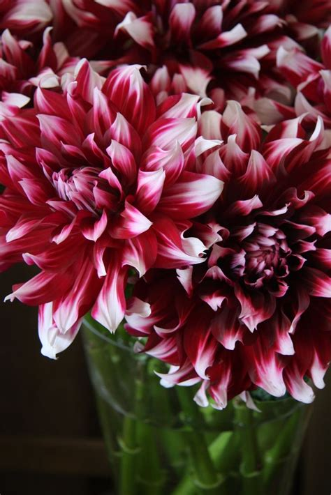 Garden And Gun Dahlias 17 Best Images About Flowers In Selected By Tr 233 Molo
