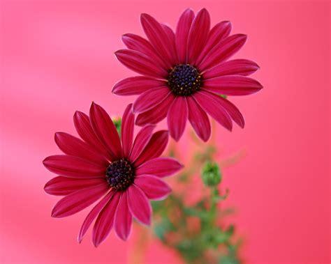 wallpaper flower gerbera gerbera daisy flower pink flower wallpapers