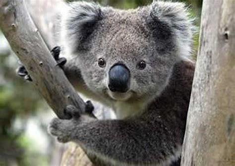 Metto Koala el koala