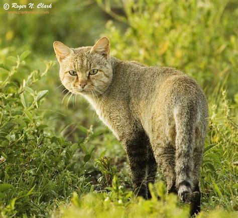 Inidia Cat 27 wildcat pretty aminals