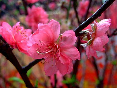 delaware state flower delaware state flower peach blossom