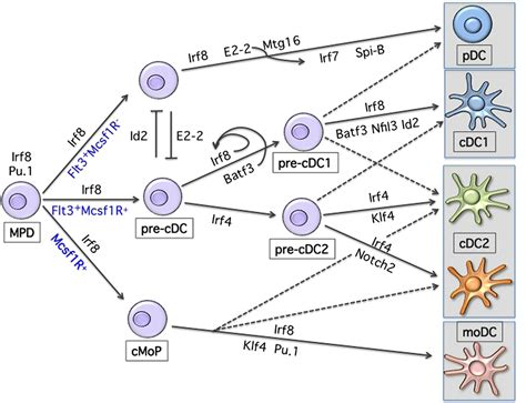 frontiers regulatory dendritic cells for frontiers transcriptional regulation of mononuclear