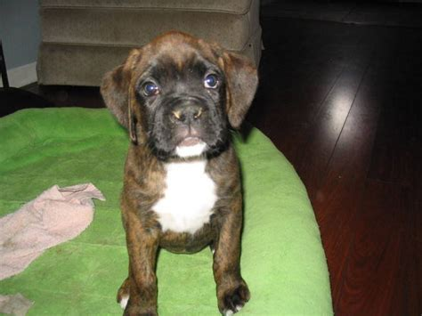 boxer puppies for sale in indiana boxer puppies 2 females akc registered for sale adoption from greenwood indiana