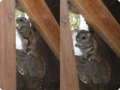 how to get rid of squirrels in house flying squirrel removal how do you get rid of flying squirrels in the attic