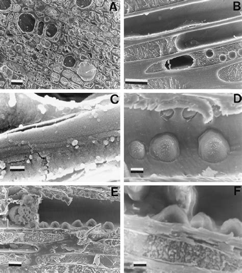 full functional  empty dysfunctional xylem conduits observed  scientific