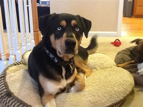 rottweiler mixed with husky husky mix with rottweiler www imgkid the image kid has it