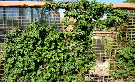 creeping fig fence www pixshark com images galleries with a bite