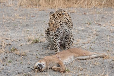 s leopard cat fight leopard vs caracal africa geographic