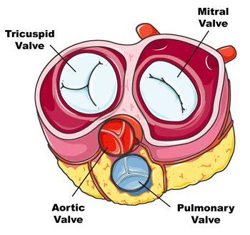 human valves diagram science circulatory system