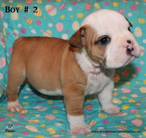 puppies for sale in tx beautiful bulldogs of puppies for sale