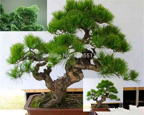 Bonsai Tree Planters by Aliexpress Buy Mini Potted 20 Bonsai Tree Seeds