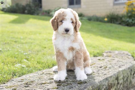 bernedoodle puppies ohio bailey bernedoodle puppy for sale in ohio