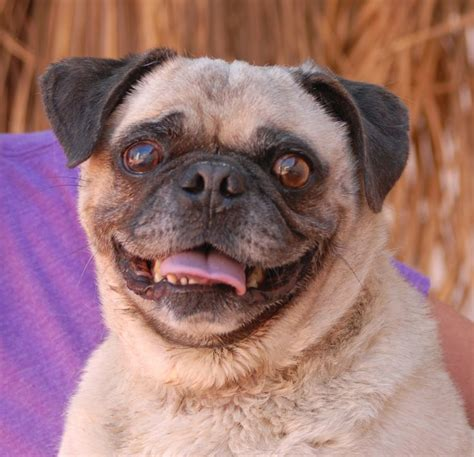 spca pug pin by garcia on wish i could save them all