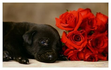 with puppies dogs with roses roses photo 13169376 fanpop
