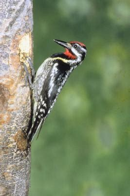 how to keep woodpeckers from ringing my trees home