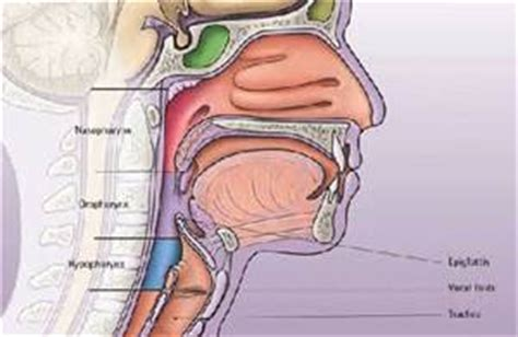 human throat diagram respiratory systems