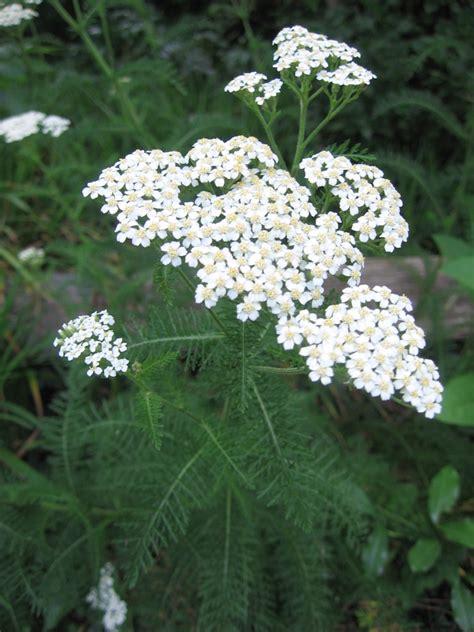 Garden Yarrow Richey Yarrow Plant Truly Is A Pharmacy All By Itself