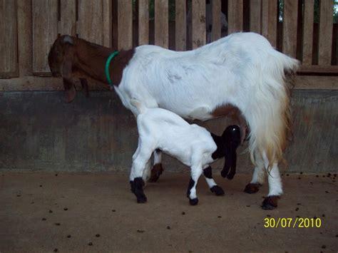 Anakan Kambing Potong pedoman lengkap beternak kambing untuk pebisnis pemula