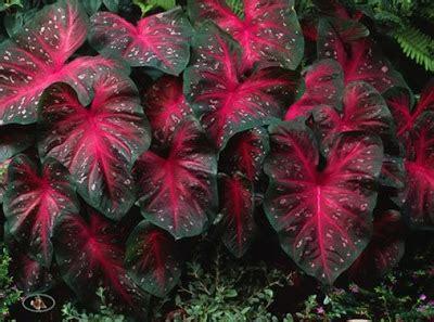 tanaman hias berdaun merah panduan tentang tanaman